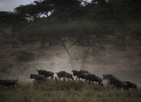 Gnus in Tansania